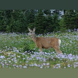 Mule Deer among alpine flowers