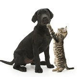 Playful tabby kitten and black Labrador pup