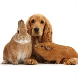 Golden Cocker Spaniel and red Guinea pig and rabbit