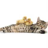 Cute tabby kitten with yellow ducklings