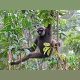 Bornean white-bearded gibbon