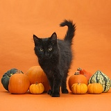 Black Maine Coon kitten and pumpkins