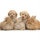 Two Toy Labradoodles and three fluffy bunnies