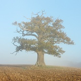 Ockley oak - Autumn with mist 2012