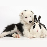 Black-and-white Border Collie pup and rabbit