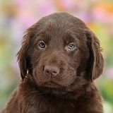 Cute Liver Flatcoated Retriever puppy, 6 weeks old