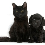 Black Maine Coon kitten and Cute Daxiedoodle puppy