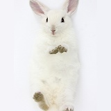 White bunny lying on his back