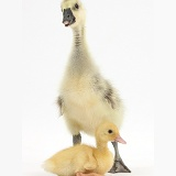 Gosling and duckling together
