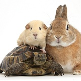 Rabbit, Guinea pig and tortoise