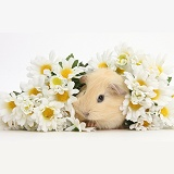 Cute baby Guinea pig hiding in a bunch of daisy flowers