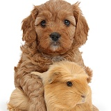 Cute red Cavapoo puppy hugging a Guinea pig