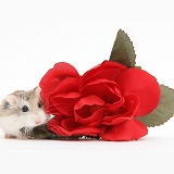 Roborovski Hamster and red rose