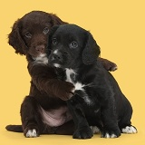 Black and chocolate Cocker Spaniel puppies hugging