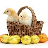 Yellow bantam chicks in basket with Easter eggs