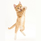 Ginger kitten leaping and grasping