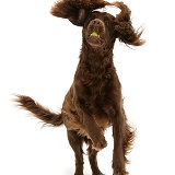 Chocolate Cocker Spaniel leaping and catching a ball