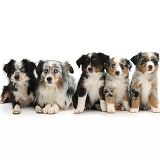 Group of Miniature American Shepard dogs