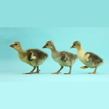 Embden x Greylag Goslings walking on blue background