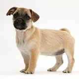 Jug puppy (Pug x Jack Russell)