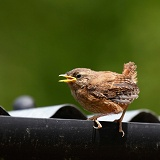 Fledglings Wren perched on a gutter