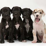 Four Great Dane puppies sitting