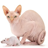Sphynx cat and Sphynx rat