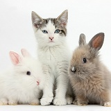 Blue-eyed tabby-and-white kitten and baby bunnies