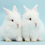 Two cute blue-eyed white baby bunnies