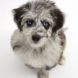 Blue merle Cadoodle puppy