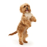 Cavapoo bitch standing on hind legs
