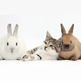 Tabby-and-white kitten with bunnies