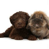 Chocolate Labradoodle puppy and rabbit