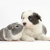 Blue-and-white Border Collie pup and Guinea pig
