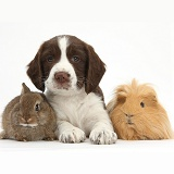 Springer Spaniel puppy with bunny and Guinea pig