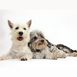 Westie and Daxiedoodle