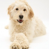 Labradoodle with paws crossed