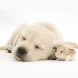 Sleepy Retriever-cross pup with hamster under its ear