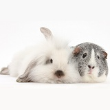 Fluffy white bunny and Guinea pig
