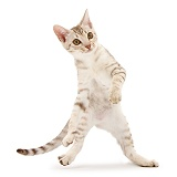 Ocicat kitten dancing