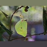 Brimstone Butterfly wings almost fully expanded
