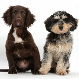 Tricolour merle Daxiedoodle dog and Cocker Spaniel