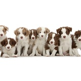 Eight cute lilac and chocolate Border Collie puppies