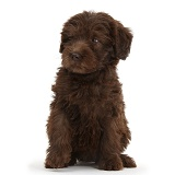 Chocolate Labradoodle puppy looking to side
