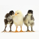 Three chicks standing together