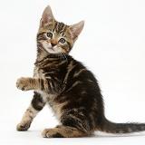 Tabby kitten holding out paw