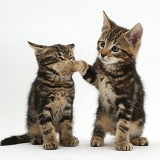 Tabby kittens play-acting