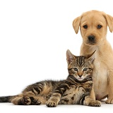 Tabby kitten with cute Yellow Labrador puppy