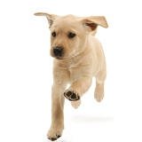 Cute Yellow Labrador puppy running