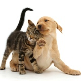 Tabby kitten rubbing against cute Yellow Labrador puppy